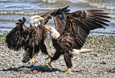 Thousands of bald eagles head to the Harrison River every year