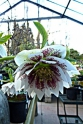 Hybrid Hellebores at Southlands Nursery