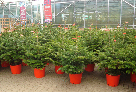 Caring For Your Live Potted B B Christmas Trees Bcliving