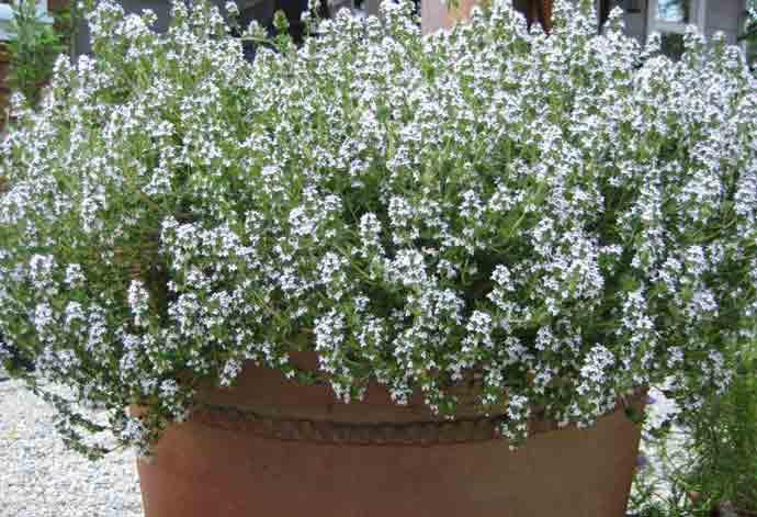 A pot full of thyme