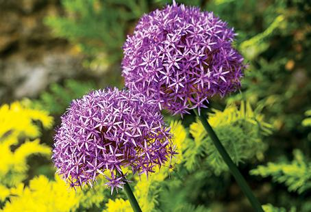 Alliums are long-lasting and spectacular throughout all stages of growing