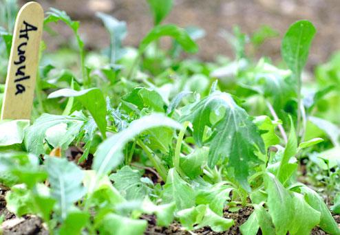 Vancouver's moderate winter climate is ideal for arugula and other greens