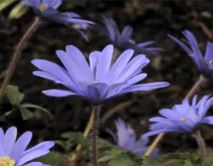 Video Time Lapse Spring Blooming Bulbs Bcliving
