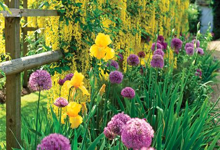 Allium plants rebloom year after year and make a good investment