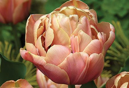 'La Belle Epoque' is a showy bloomer in an unusual shade of coppery pink