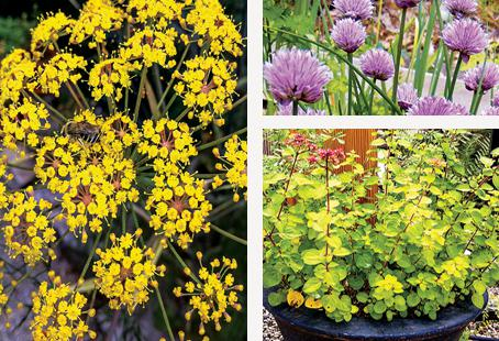 Fennel flowers, chives and oregano are all-season herbs